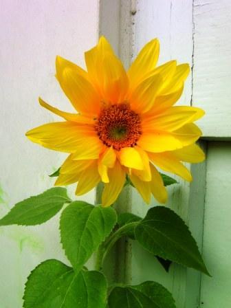 Sonnenblumen machen gute Laune
