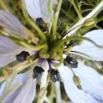 Schwarzkümmel - Samen an der Blütev